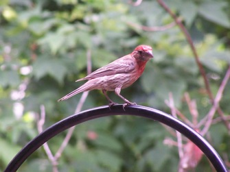 Image:HouseFinch.JPG